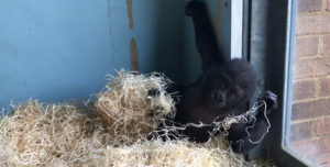 Going out | Bristol Zoo's infant gorilla is enjoying life at six months old